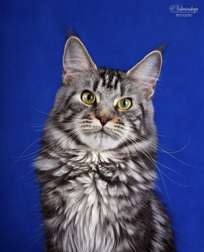 Мужская-порода-кошек-2