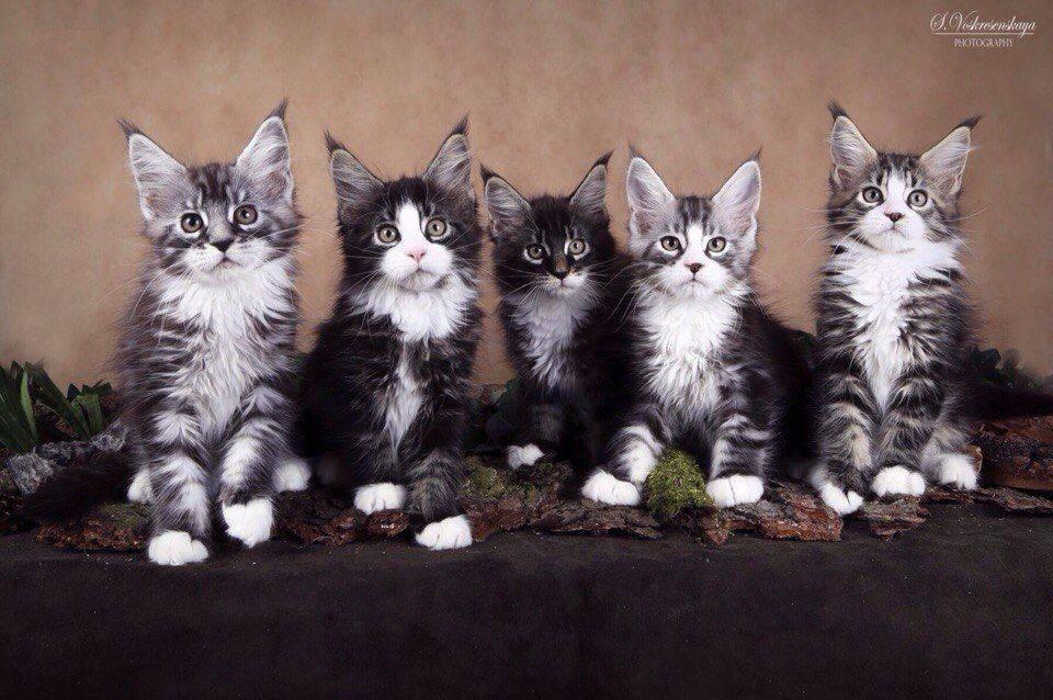 Мужская-порода-кошек-3
