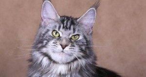 Мужская порода кошек