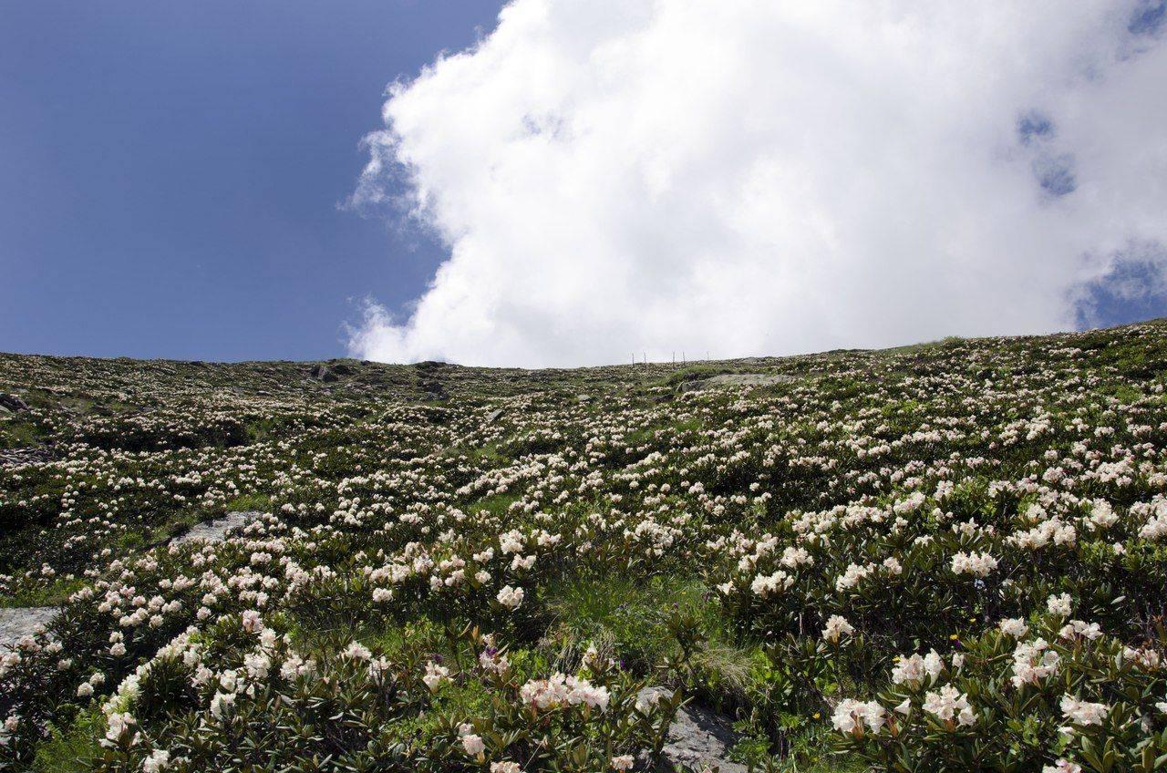 Рододендроны на Чегете - Stone Forest