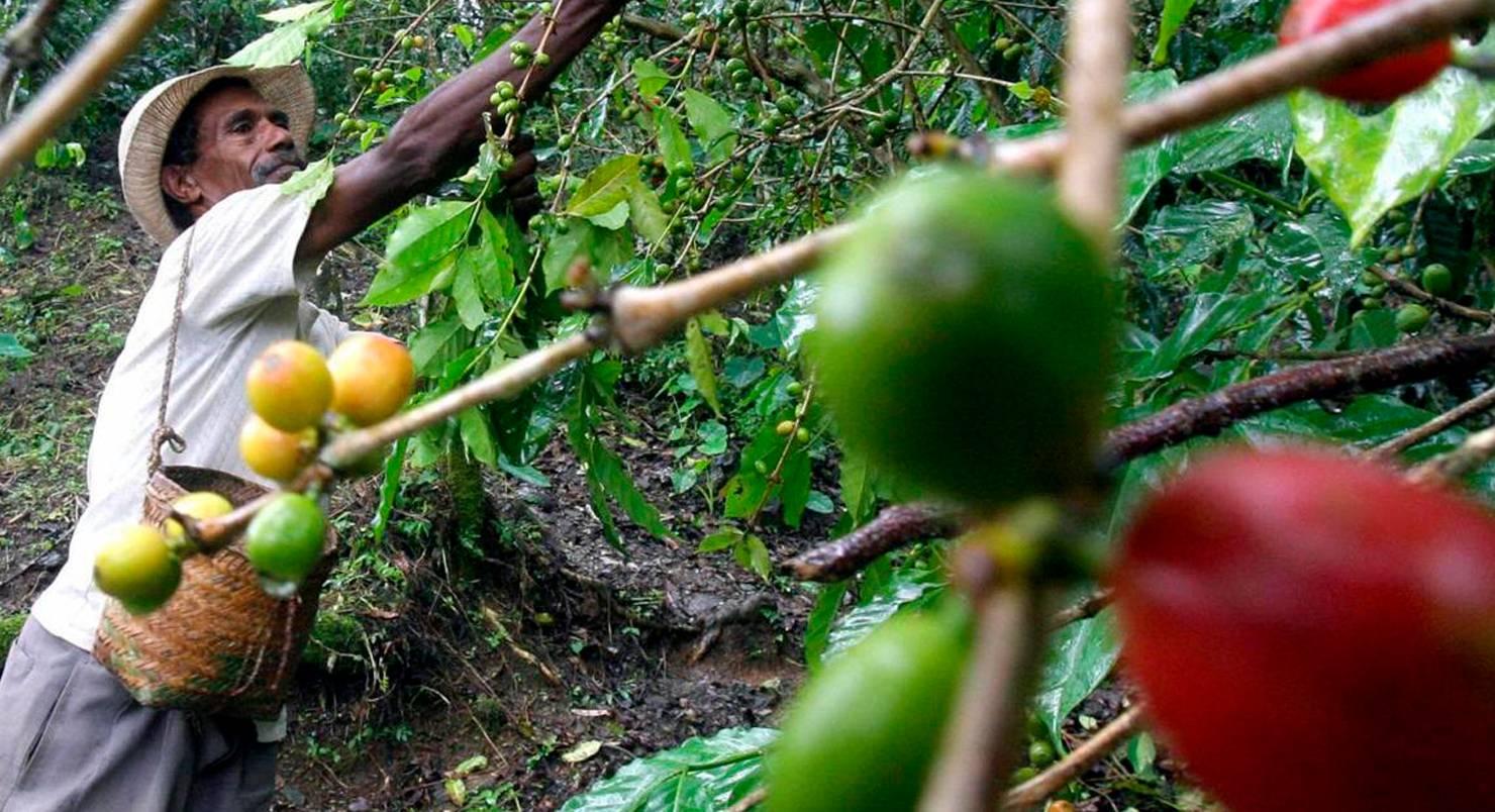 Болезни кофейного дерева - TheFlowers