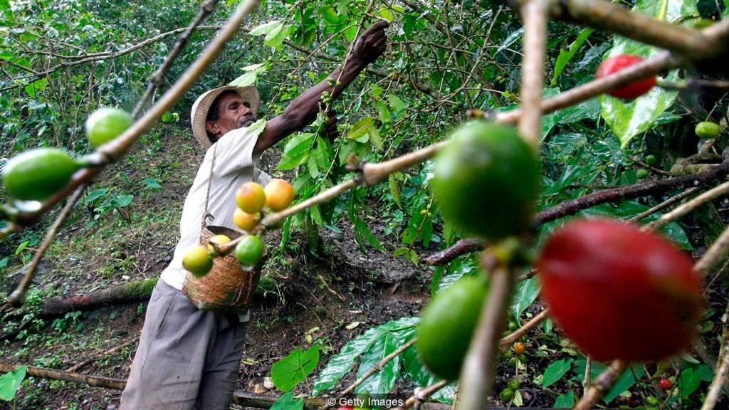 Если не удасться победить эпидемию ржавчины, удасться ли сохранить истинный вкус кофе из Колумбии?