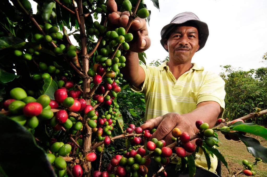Выращивать кофе - дело небыстрое