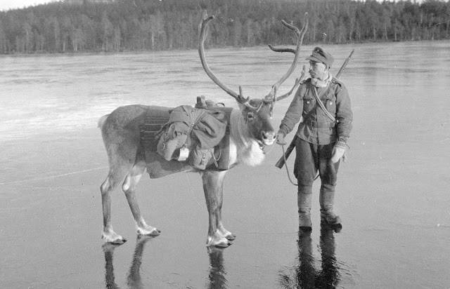 Олени на службе финской армии - Stone Forest