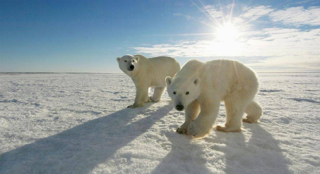Polar Bears International - Stone Forest