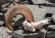 Охота на аргали - Stone Forest