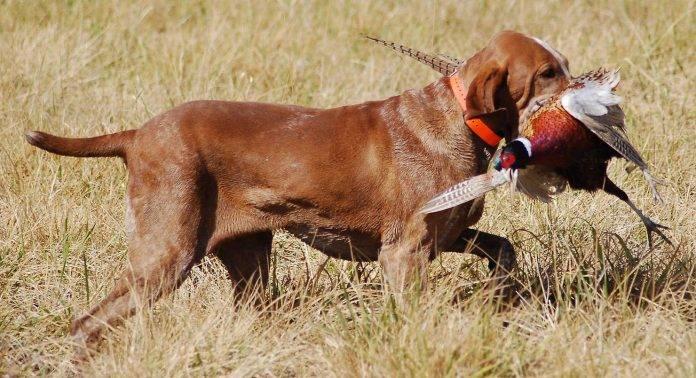 Охотничья собака - Stone Forest
