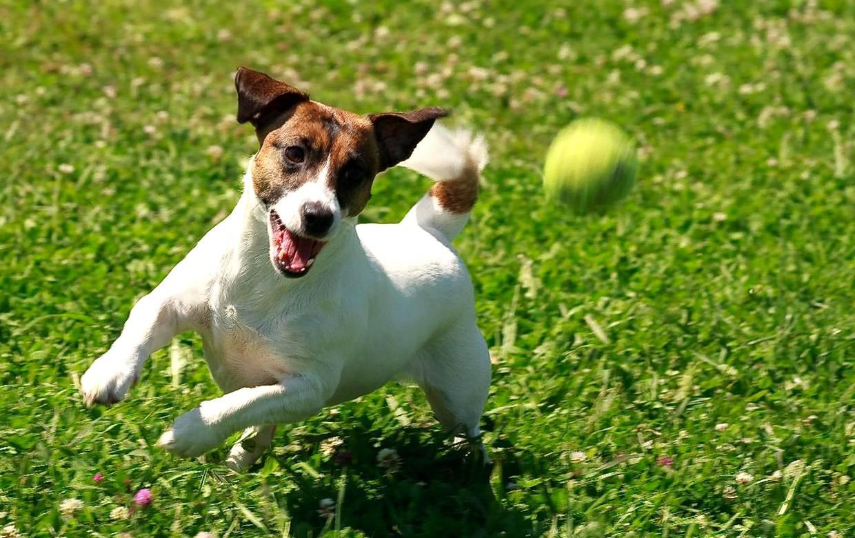 Охотничья собака Джек Рассел - Stone Forest