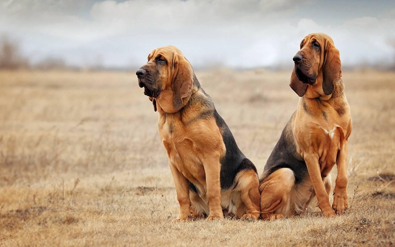 Охотничья собака Бладхунд - Stone Forest