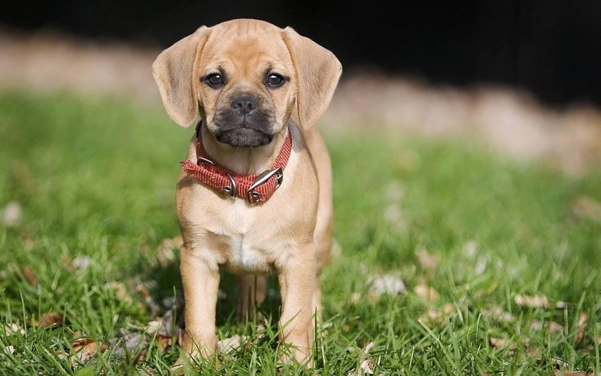 Охотничья собака щенок - Stone Forest
