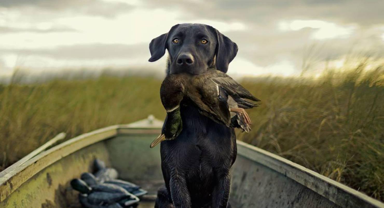 охота на утку с собакой