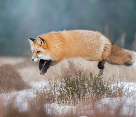 Охота на лису - Stpne Forest