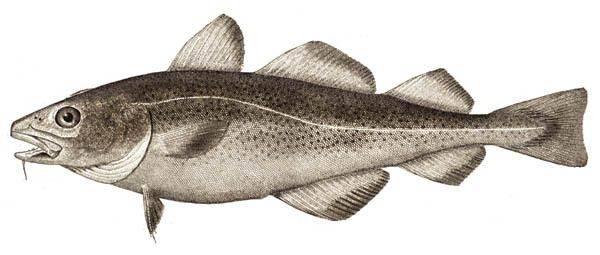 Рыба треска - Каменный лес Stone Forest